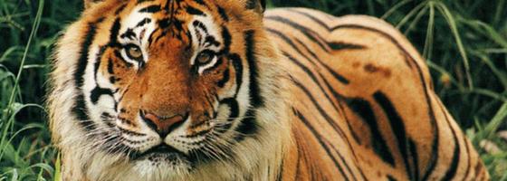 tijger-op-de-loer